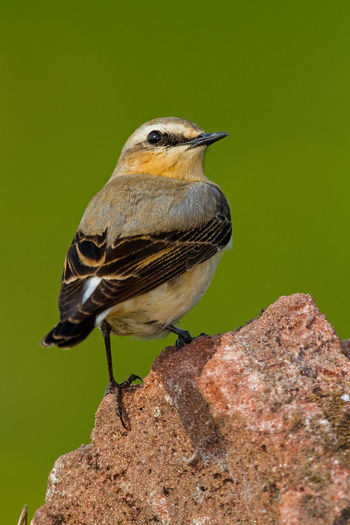 Northern Wheatear Collalba Gris Northern Wheatear Oenanthe Oenanthe Steinschmätzer Traquet Motteux Animal Themes Animal Wildlife Animals In The Wild Bird Day Nature No People One Animal Outdoors Wheatear