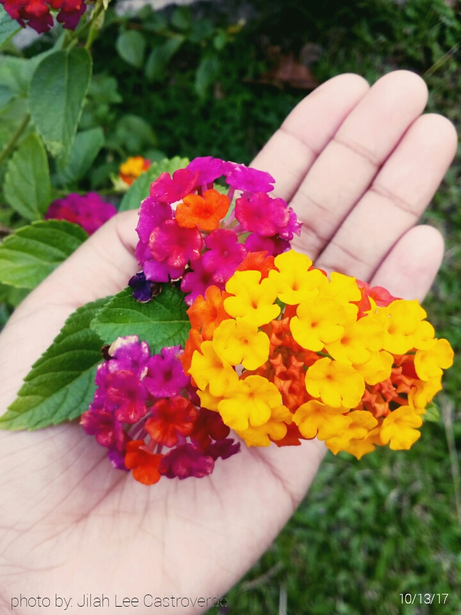human hand, hand, flower, flowering plant, one person, plant, holding, human body part, freshness, real people, nature, close-up, vulnerability, beauty in nature, fragility, day, inflorescence, flower head, focus on foreground, lantana, finger, outdoors, bunch of flowers, flower arrangement, human limb