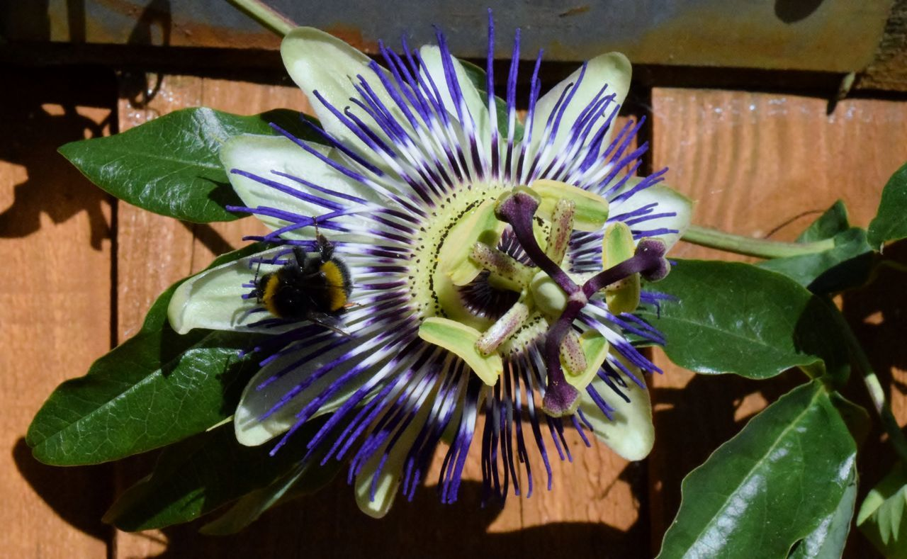 flower, animal themes, leaf, animals in the wild, plant, growth, nature, insect, petal, beauty in nature, day, fragility, no people, passion flower, flower head, freshness, one animal, green color, animal wildlife, outdoors, close-up, bee, blooming