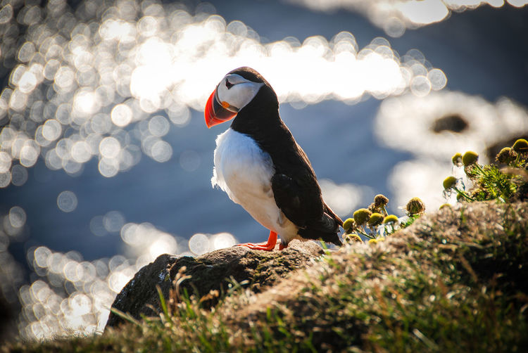 Iceland Puffin Animal Themes Animal Wildlife Animals In The Wild Beauty In Nature Bird Close-up Day Nature No People One Animal Outdoors Perching Rock - Object Sunlight Water