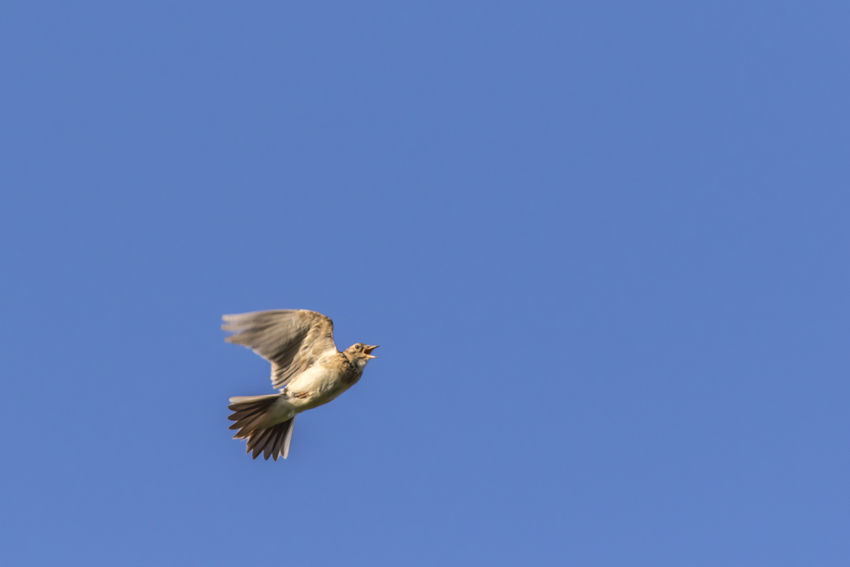 A common skylark in flight Alauda Arvensis Nature Songbird  Animal Animal Themes Animals Animals In The Wild Bird Birds Common Skylark Day Flight Flying Landscape Larkspur Nature No People Outdoors Outdoors Photograpghy  Singing Bird Skyla