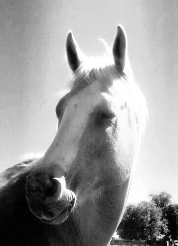 Enjoying the Sun This beautifil Palamino, Quarter Horse is enjoing the warm sunlight. Horse, Palomino, beautiful, Quarter Horse, enjoying, war, sun