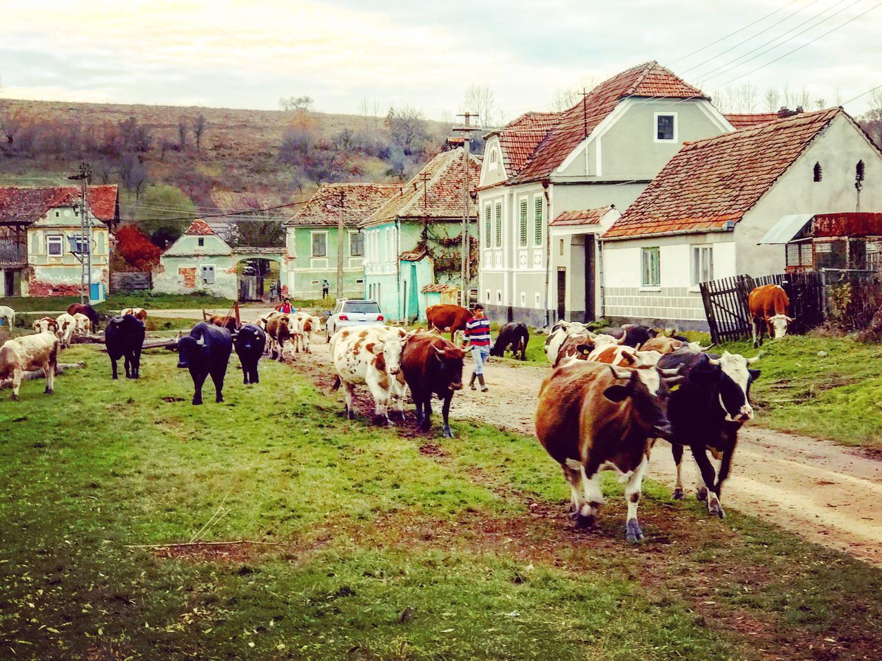 domestic animals, building exterior, architecture, built structure, cow, livestock, animal themes, mammal, house, sky, grass, day, outdoors, standing, real people, tree, nature