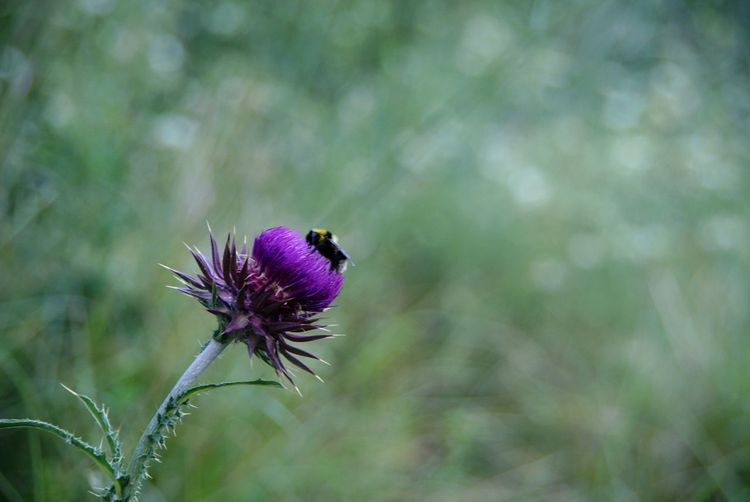 Flower Thistle Flower Head Butterfly - Insect Pollination Insect Purple Close-up Animal Themes Plant Bee Animal Wing Honey Bee Dragonfly Buzzing Coneflower APIculture Damselfly Beehive