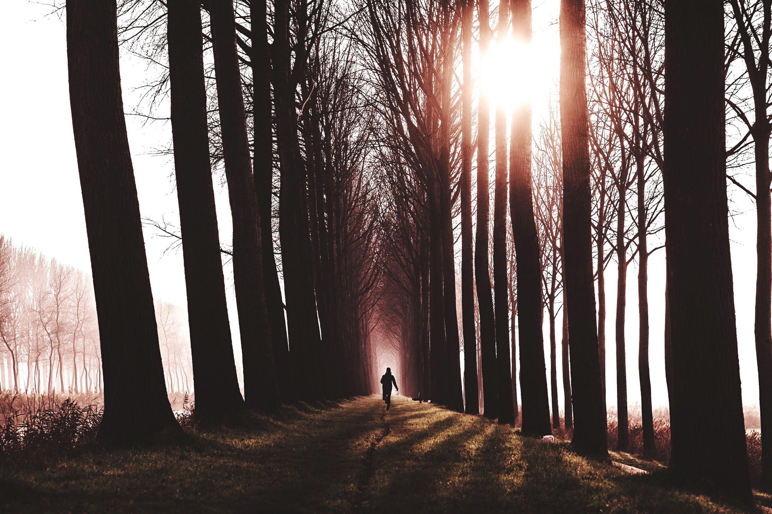 tree, sun, tree trunk, silhouette, tranquility, tranquil scene, sunbeam, sunlight, forest, nature, lens flare, scenics, beauty in nature, woodland, sunset, walking, landscape, non-urban scene, back lit