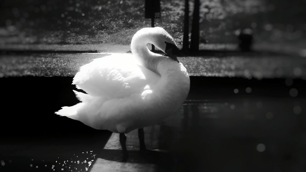 Swan Bird Water One Animal Flamingo Outdoors Close-up Beauty In Nature Blackandwhite Elegance In Nature PhonePhotography Mobilephotography Garden Venaria Reale Italy