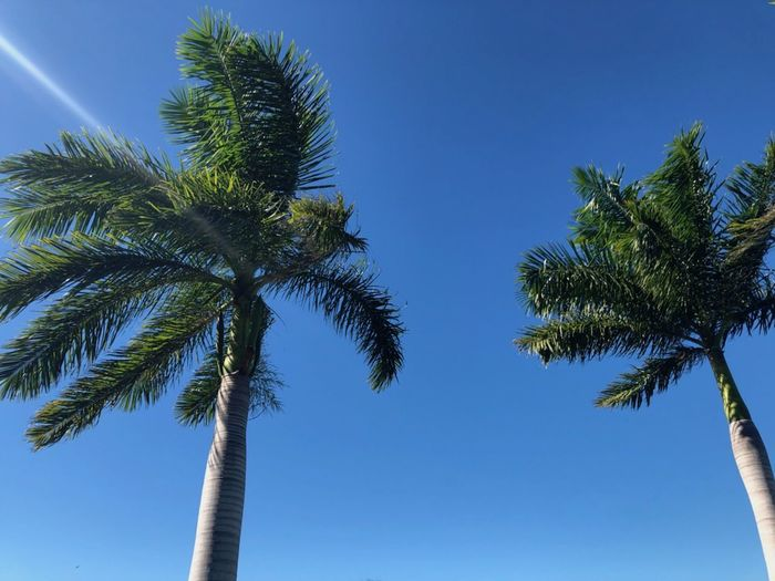 Ray of light Over Palm trees Coconut Palm Tree Palm Tree Tall - High No People Tropical Tree Palm Leaf Low Angle View Clear Sky Blue Tropical Climate Directly Below Wind Copy Space Space For Text Florida Growth Ray Of Light In A Row Summer Daylight Outdoors Trunk Tree Color Image Sunny