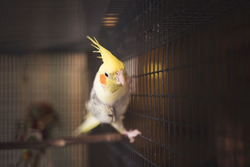 Parakeet EyeEm Selects Animal Themes Bird Animal Vertebrate Cage Birdcage Animal Wildlife Yellow Animals In Captivity Pets Parakeet Trapped Domestic Animals Indoors  One Animal No People
