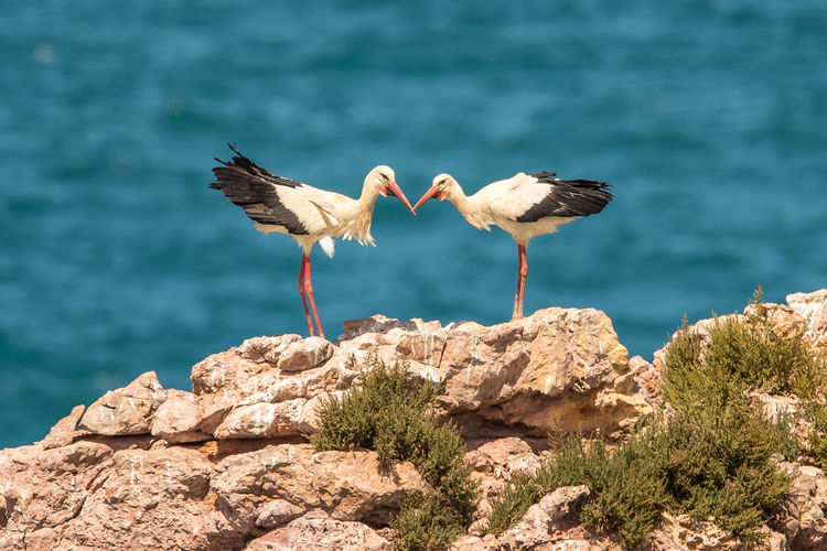 Storks perching on rock against sea