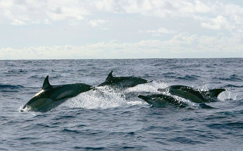 common dolphin, Azores, n Atlantic . Water Sea Animal Themes Beauty In Nature Outdoors Splashing Non-urban Scene Dolphins Dolphin Mammal Mammals Animals In The Wild