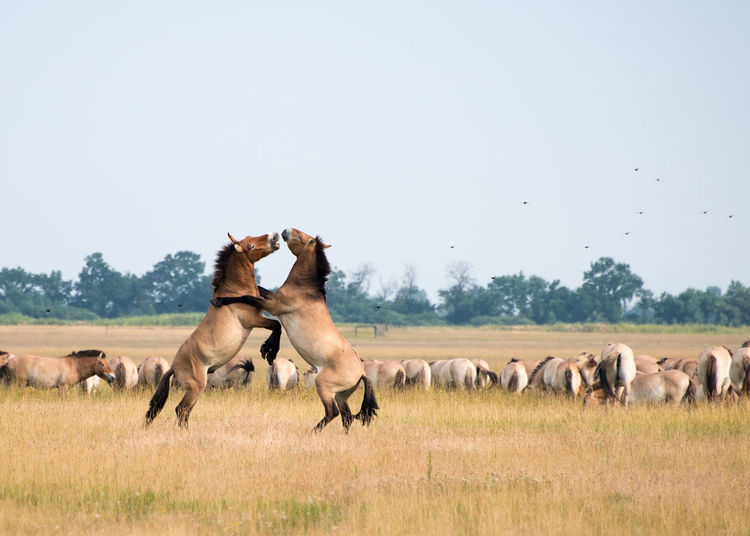 Side view of horses rearing up on land against clear sky