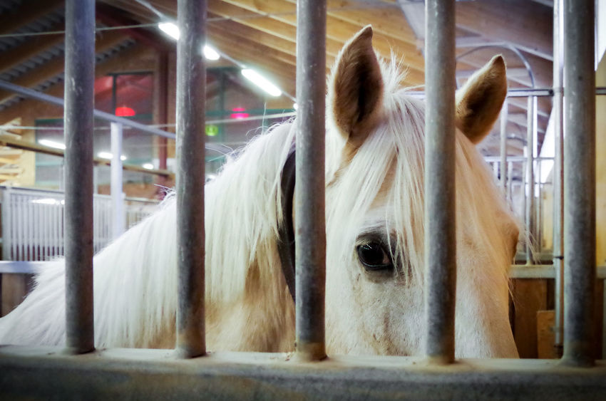 Sweet and mild mannered pony, but horses really shouldnt be allowed to be tied up for longer periods of time :( Animal Animal Eye Behind Bars Cage Domestic Animals Horse Horse Eye Horse Life Pony Sad Sadness Stable White White Horse Worried Animals