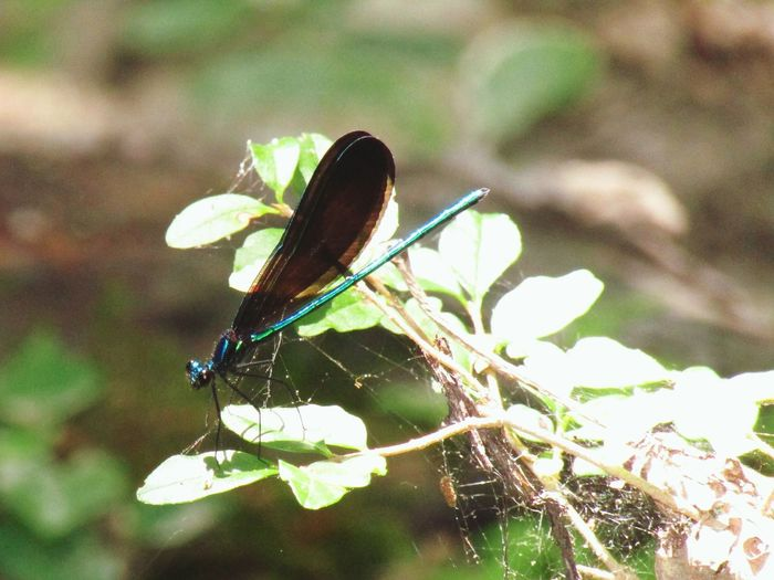 Frenchtown Road Louisiana Dragonfly Iridescent  Insect Outdoors Animals Nature Transparent Wings Macro