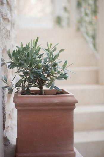 Green Mediterranean  Mediterranean Sea Olive Olive Tree Evoo Extra Virgin Fresh Fruit Fruitful Growth Horticulture Leaf Nature Olive Oil Plant Potted Plant Seedling Terracotta