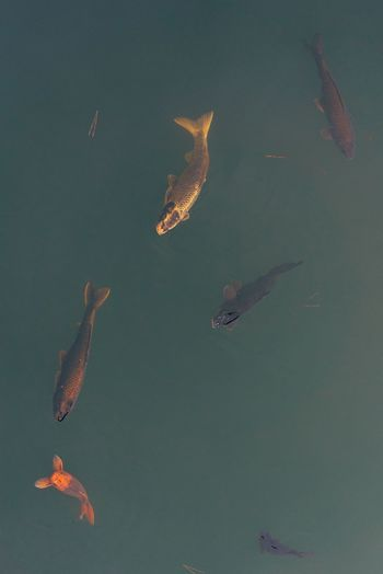 High angle view fish swimming in lake