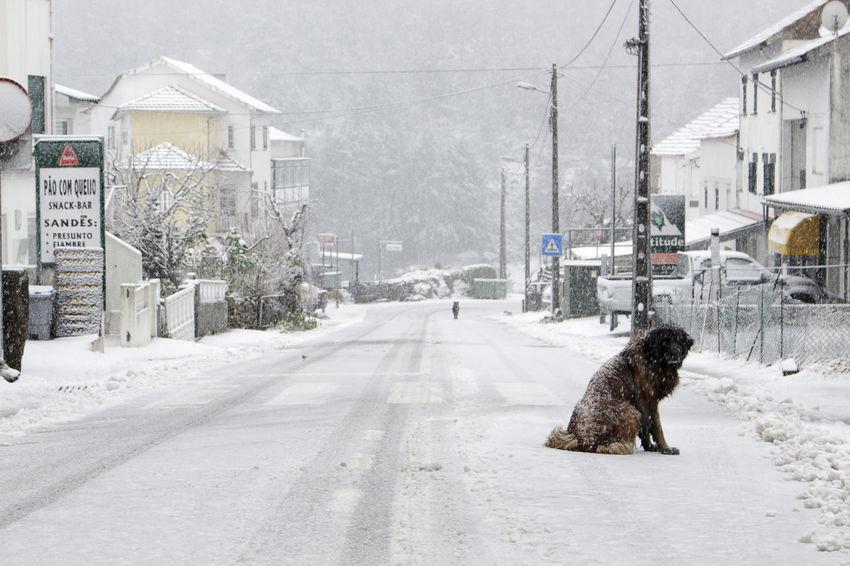 O guardião da estrada    The road keeper    Dog Portugal Sabugueiro Serradaestrela Snow Streetphotography White