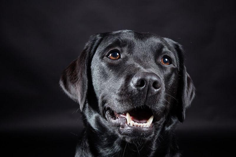 A gorgeous black Labrador named Dakota. Animal Head  Black Color Dog Headshot Labrador Retriever No People Portrait Studio Shot
