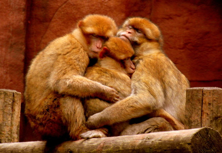 Animal Family Animal Themes Family Huge Moments Monkey No People Outdoors Parents Sleeping Sleeping Monkey Togetherness Young Animal Zoo
