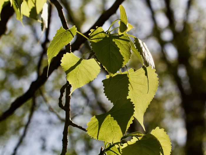 Low angle view of leaves growing on tree