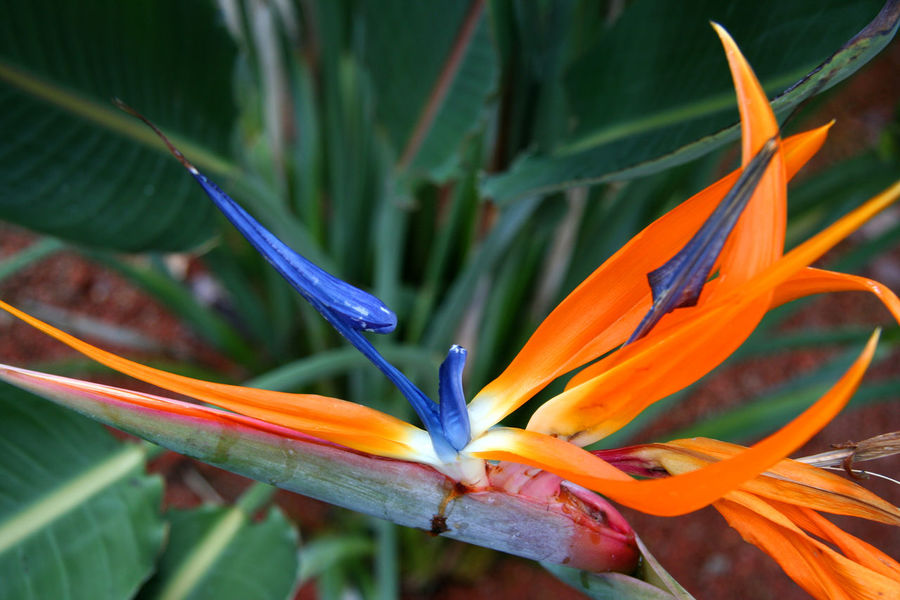 Bird of Paradise Flower in Bloom - Strelitzia reginae Beautiful Nature Beauty In Nature Bird Of Paradise Bird Of Paradise - Plant Bird Of Paradise Flower Blooming Botany Close-up Crane Flower Flora Flower Flower Head Fragility Freshness Growth Nature No People Orange Color Petal Plant South Africa Strelitzia Strelitzia Reginae StrelitziaReginae Tropical Climate