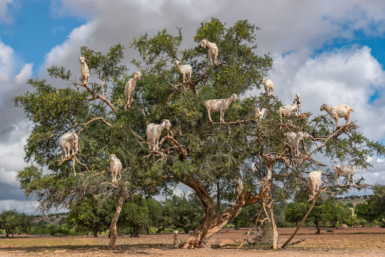Low angle view of goats on trees against cloudy sky