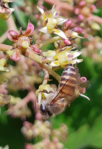 หาอาหาร Bee 🐝 ผึ้ง น้ำหวาน เกสรดอกไม้ Flower Insect Close-up Plant In Bloom Wildflower Flower Head