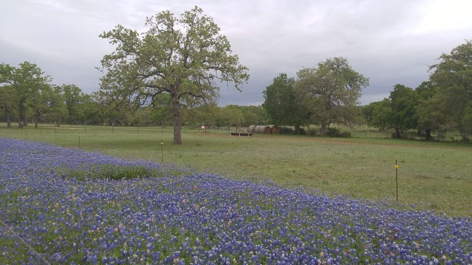 Wildflower Beauty In Nature Bluebonnet Day Field Flower Fragility Freshness Grass Green Color Growth Landscape Nature No People Outdoors Plant Purple Rural Scene Scenics Sky Tranquil Scene Tranquility Tree Lost In The Landscape
