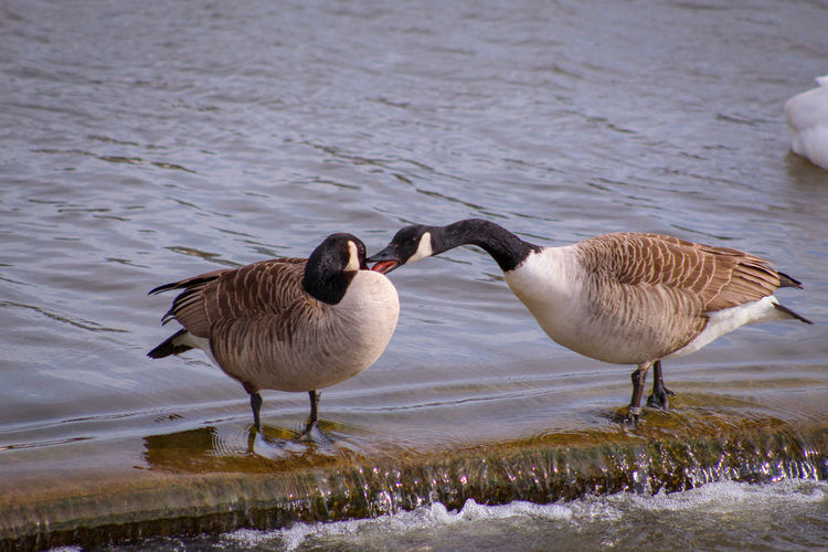 Honk Honk 📣📣😜🎧 Mating Season Male Animal Female Animal Lakeside Springtime EyeEm Nature Lover EyeEmBestPics EyeEm Best Shots - Nature Beauty In Nature Wonders Of Nature Bird Water Winter Lake Goose Animal Themes Water Bird Freshwater Bird Swimming Animal