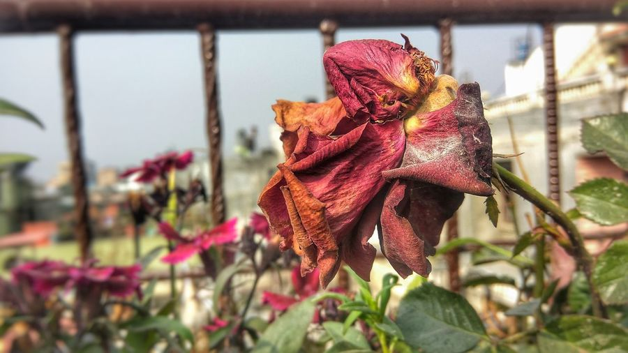 Aged smile of a red rose that once was young and vibrant; embracing life as it comes. Nature Scenic Photography EyeEm Selects Beauty In Nature Flowerporn Beautiful Nature Rosé Rose - Flower Withered Flower Withered Beauty Withered Rose Beautiful Aged Blossom Still Beautiful  Wrinkled Beauty Plant Day Flower Nature Red No People Focus On Foreground
