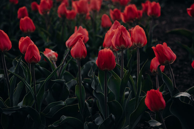 Tulips Tulip Red Flowers Flower Flowering Plant Plant Growth Beauty In Nature Fragility Vulnerability  Freshness Nature Petal Red Close-up No People Inflorescence Outdoors Flower Head Field Plant Part Leaf Land Spring Flowerbed