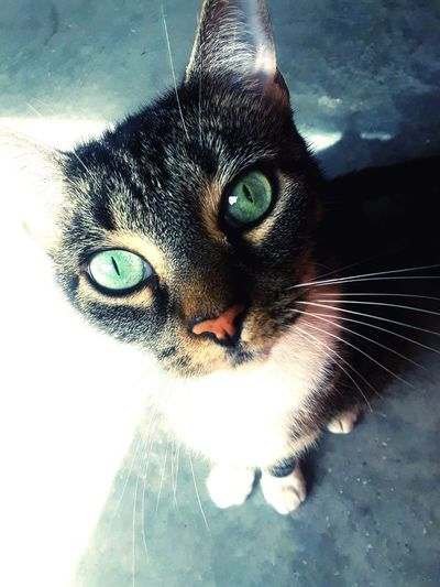 Marley Green Eyes Green Cat Eyes Green Up Close Furry Friends Beutiful  Gorgeous Pets Portrait Feline Domestic Cat Looking At Camera Whisker Close-up Animal Eye Cat Tabby At Home Eye Animal Nose Home Animal Face Animal Head  Eyeball Adult Animal