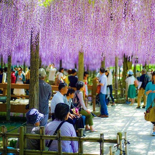 去年のですが藤の花~ 藤 藤の花 花 Japan Igers Igersjp Icu_japan Flowers_shotz Flower Flowers Instagood Instagramers Instagrammer Team_jp_ Team_jp_flower 写真好きな人と繋がりたい 写真撮ってる人と繋がりたい