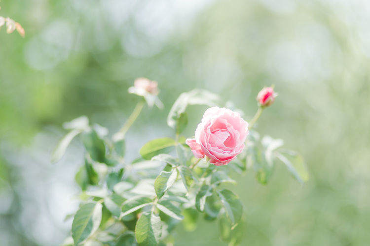 Plant Flower Flowering Plant Beauty In Nature Petal Pink Color Rosé Close-up Fragility Vulnerability  Inflorescence Growth Flower Head Rose - Flower Freshness Nature Leaf Focus On Foreground Plant Part No People Outdoors