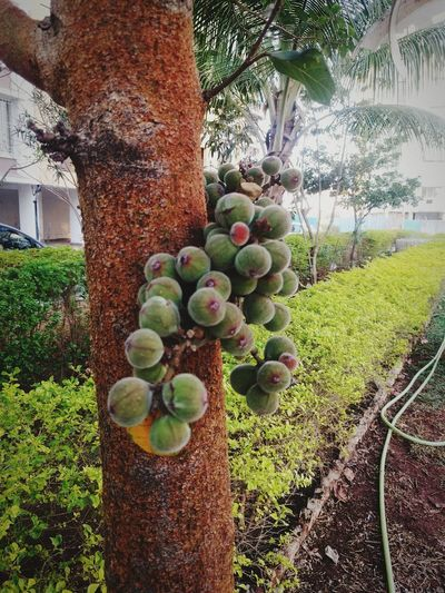 Fruits ♡ Tree And Fruits Wild Fruits And Berries Wild Fruit Tree Wild Fruit Freshness Nature Green Color Outdoors Growth Incredible India Outdoor Photography