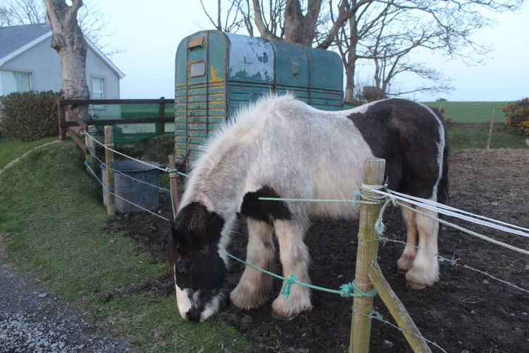 Animal Themes Domestic Animals Horse Irish Horse Livestock Mammal Outdoors Working Animal