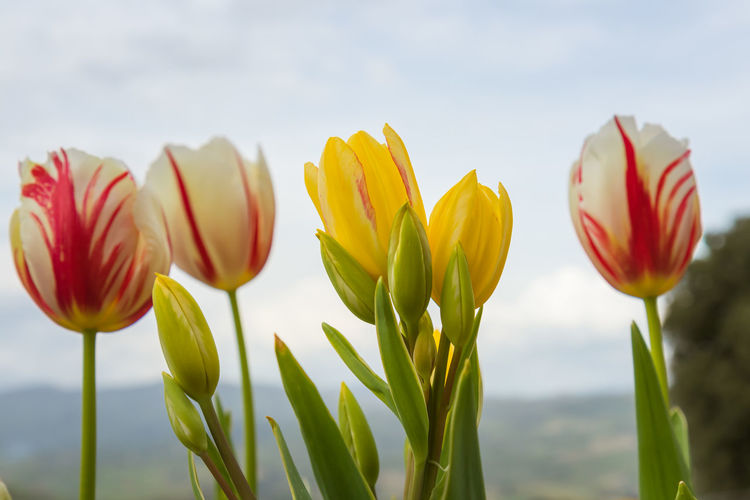 Close-up of yellow tulips against sky
