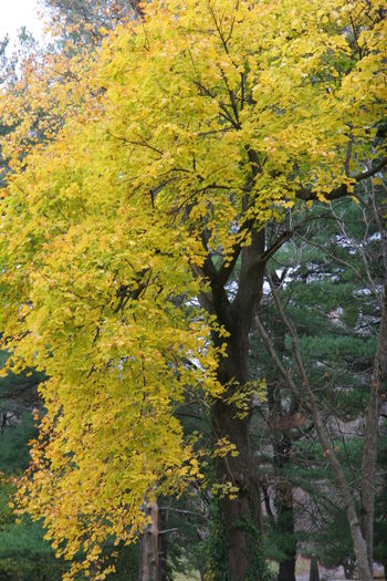 Fall Beauty Fall Color Fall Collection Tree Yellow Leaves