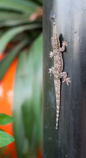 Lizard Gecko