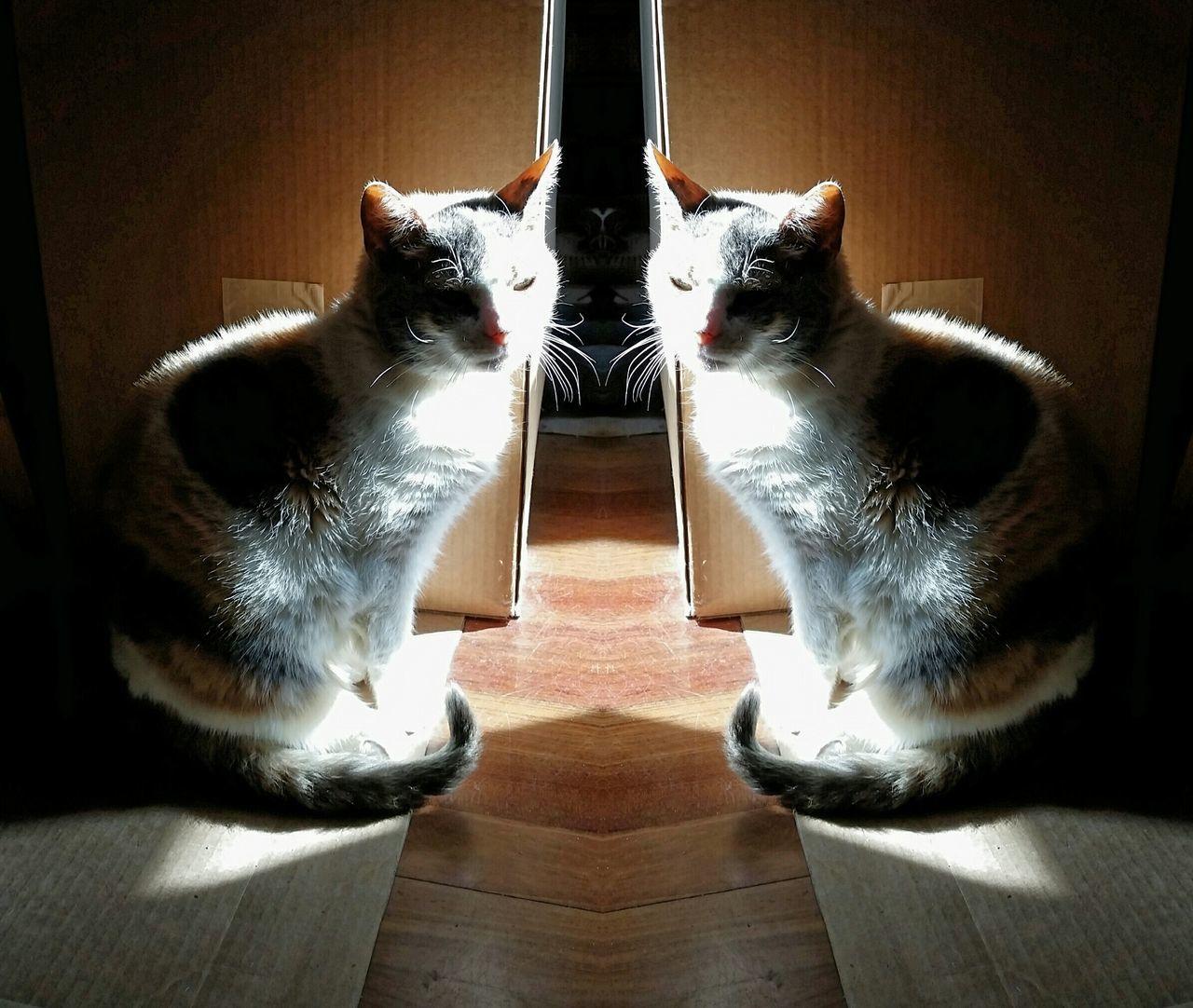indoors, domestic cat, mammal, animal themes, domestic animals, pets, hardwood floor, no people, feline, day