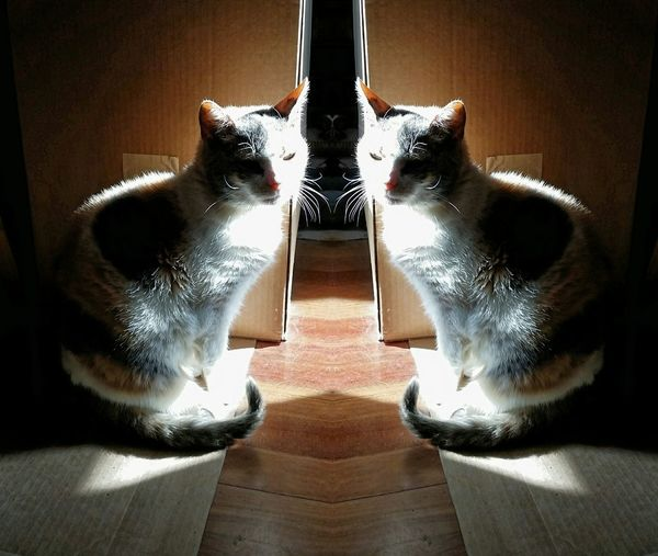 Mirror Image Cats Relaxing Gato Les Chats Window Light Calico