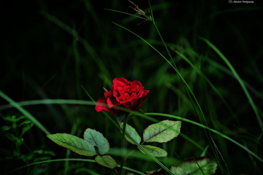 Red Rose 🌹 Clicked On Nikon D3300 Flower Flower Head Red Leaf Poppy Close-up Plant