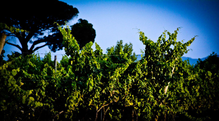 Overnight Success Nature Power In Nature Beauty In Nature Nature By Night Winelovers  Winegrapes Winegrowing SouthFrance Abstract Nature Abstract Pinetrees