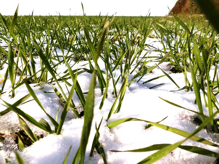 Wintersun Green Color Grass In Snow Cereal Plant Snow Winter Field Springtime Easter Easter Sunday Spring Green Green Grass Freshness Rural Scene Close-up Outdoors Winter Cold Temperature Grass Field Growth Agriculture Snowday No People Winter Sun