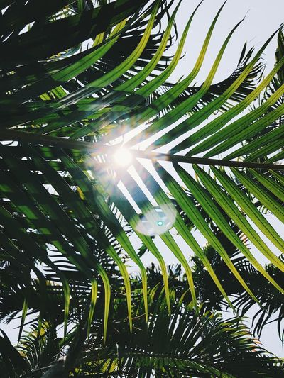 Low angle view of sunlight streaming through palm tree