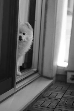 Black And White Mylovelydog Pomeranian Pets Portrait Domestic Cat Looking At Camera Feline Window Looking Through Window Looking Standing Close-up Window Sill