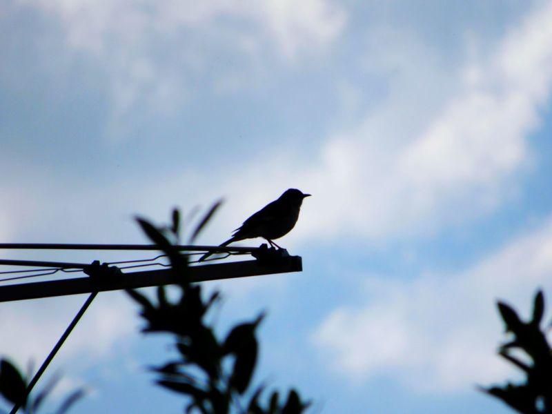 Birds🐦⛅ Birdwatching Bird Collection Avian Collection Bird Photography Clouds And Sky Bird Singing TV Antenna Single Bird