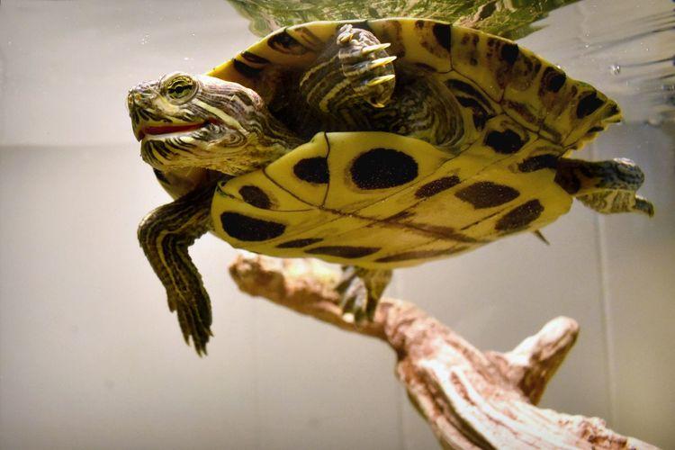 Pet Portraits Reflection Animal Themes Aquatic Reptile Close-up One Animal Pet Reptile Turtle