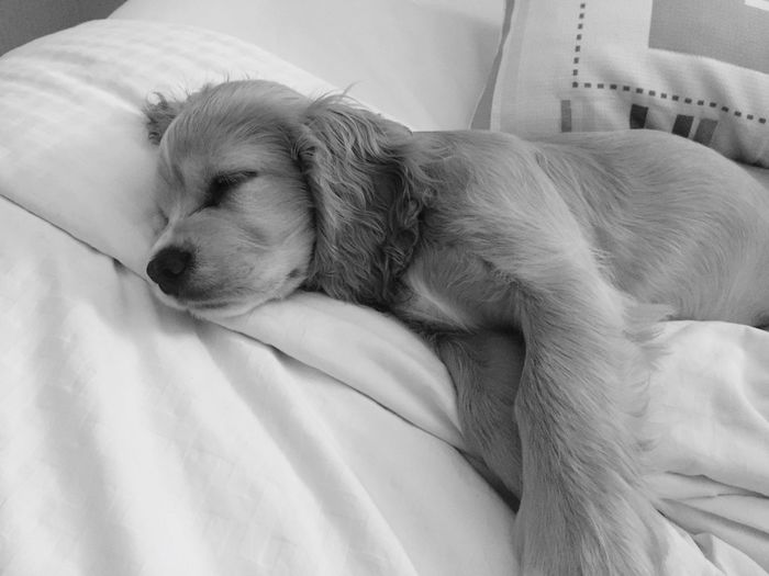 Completely engulfed in sweet blissful sleep EyeEm Selects Dog Pets Sleeping One Animal Domestic Animals Indoors  Lying Down Mammal Resting Relaxation Close-up Bed Animal Themes Day No People