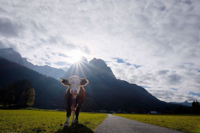 Low angle view of cow standing by road against mountains
