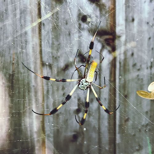 Golden Lady Golden Orb Weaver Spider Spider No Edit/no Filter Close-up Beauty In Nature Outdoors Fragility In Nature Ladyphotographerofthemonth Day Animal Wildlife No People Nature Animal Leg West Pensacola Mating Fragility Perspectives On Nature